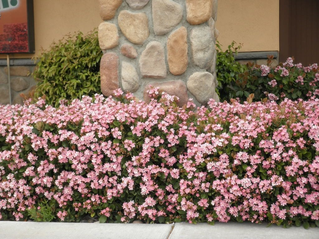 Best Evergreen Shrubs For Small Gardens Signals Az